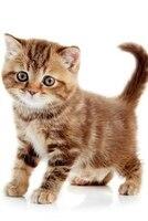 British Shorthair Kitten Notebook & Journal. Productivity Work Planner & Idea Notepad: Brainstorm Thoughts, Self