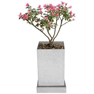 Bonsai Tree Crepe Myrtle